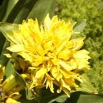 Gentiane jaune 3