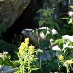 Marmotte sur le chemin du Laurenti